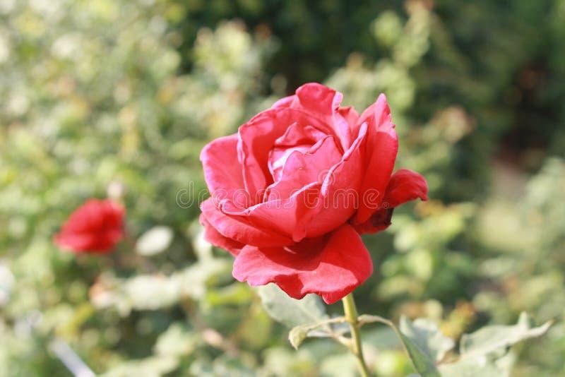 Rose flower in garden. stock images