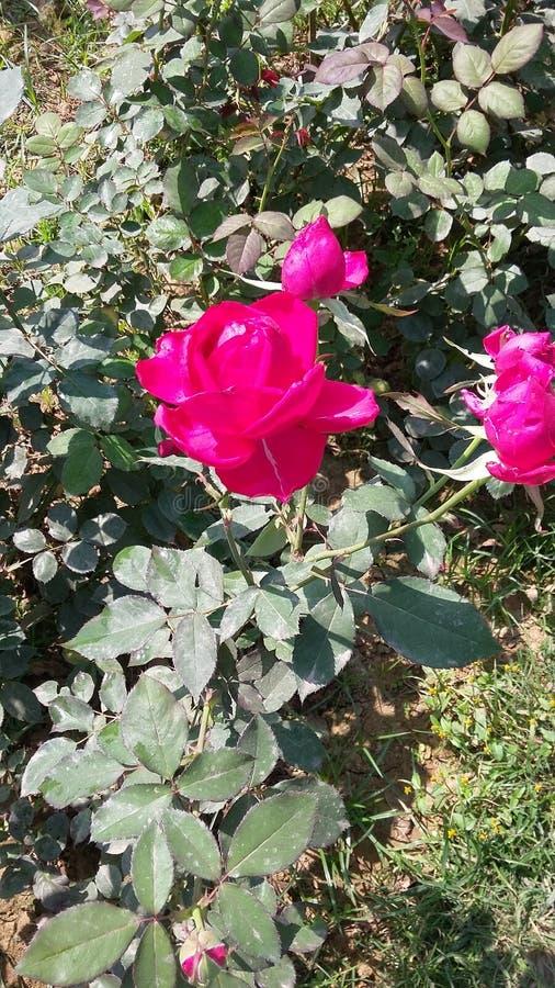 ROSE FLOWER royalty free stock image