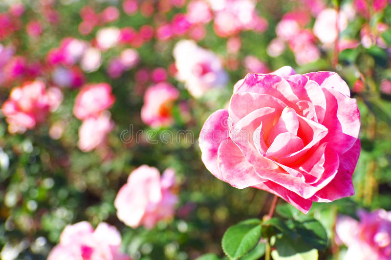 Rose Flower Girl. View of rose flowers which are called Flower Girl royalty free stock image