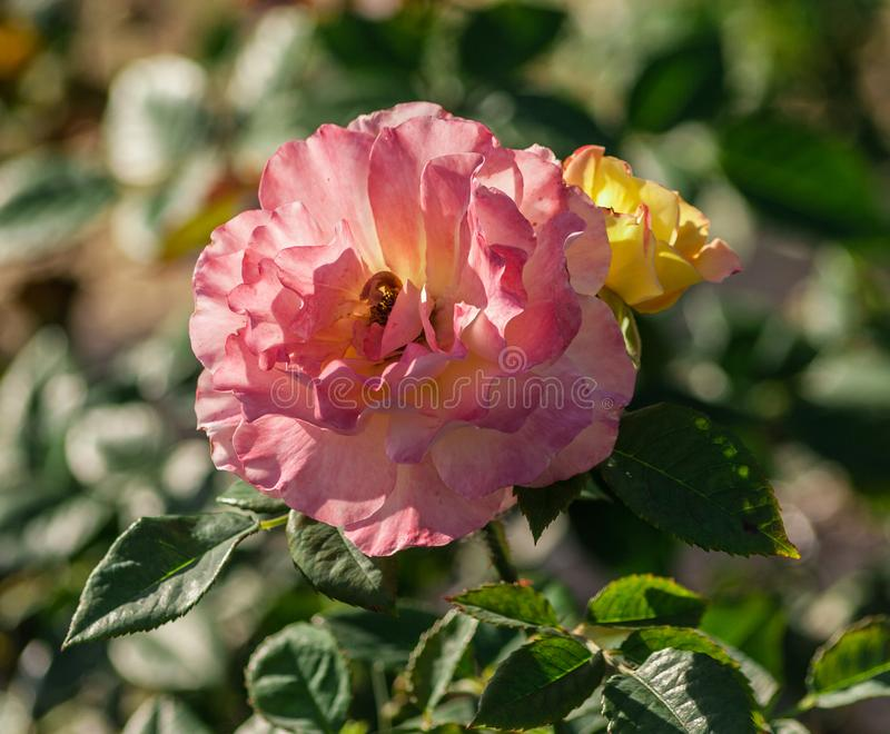 Rose flower grade aquarell, large flowers of iridescent pink and peach-yellow hues. Growing in the garden in the summer, illuminated by sunlight, in the stock photos