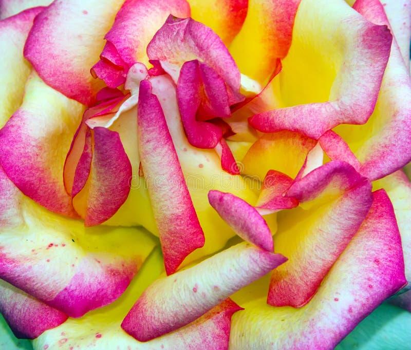 Rose Flower Head jaune rose photographie stock libre de droits