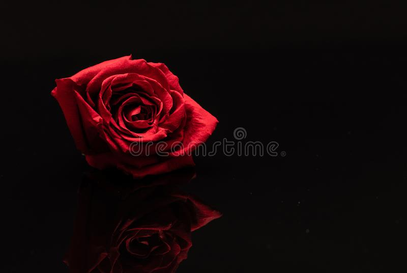 Rose. Flower. Head. Red. Reflected. Macro stock photos