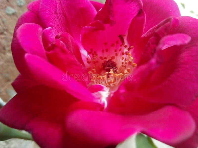 Rose Flower Il colore rosso è aumentato fine immagine stock libera da diritti