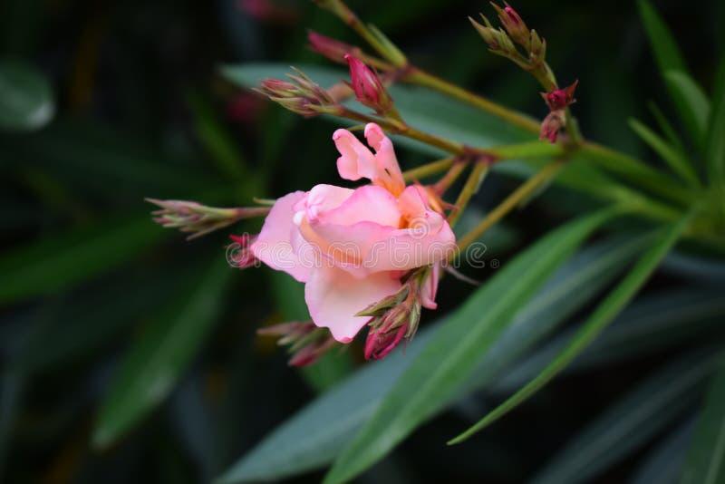 Rose Flower im Mai lizenzfreie stockbilder