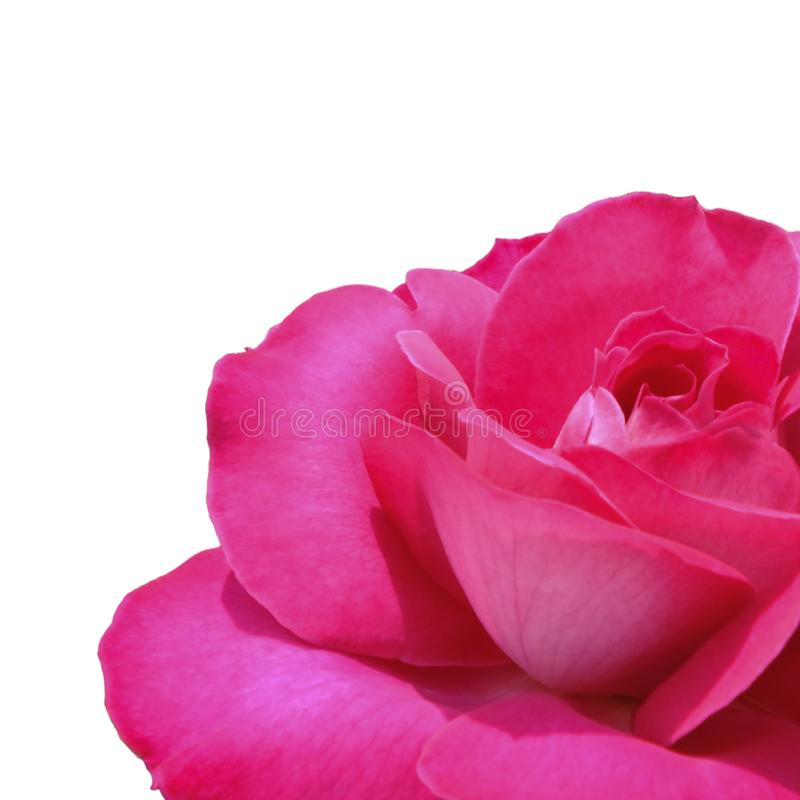 Beauty rose flower white background isolated. Nature for design. CloseUp. royalty free stock photography