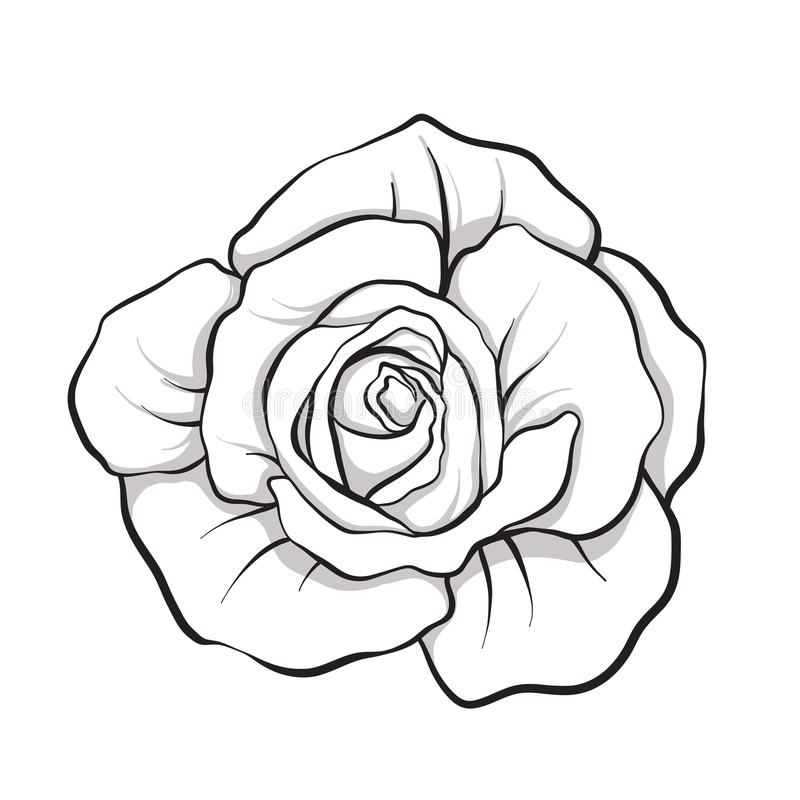 Rose flower isolated outline hand drawn. Stock line vector illus. Tration.r stock illustration