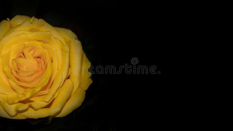 Rose Flower Macro jaune sur le fond noir a isolé Valentine Postcard photographie stock libre de droits
