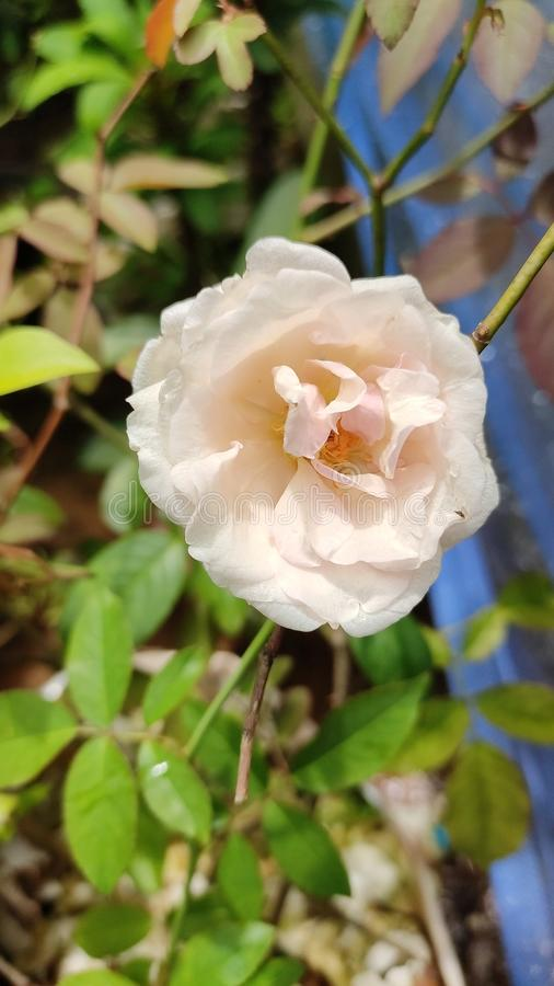 Rose Flower They is mooi geen kwestie hoe walkable de roze bloem weinig honing is stock fotografie