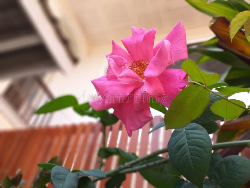 Rose Flower royalty-vrije stock afbeeldingen