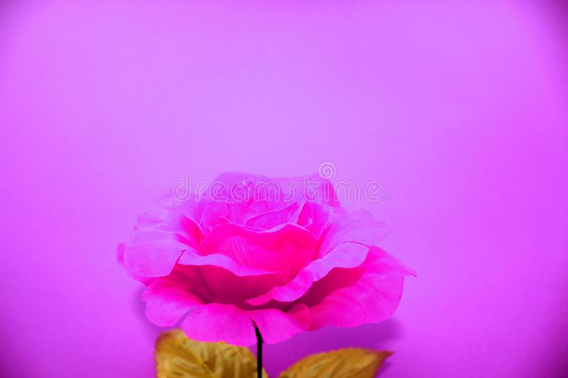 Rose flower, neon infrared pink and ultraviolet style royalty free stock photography