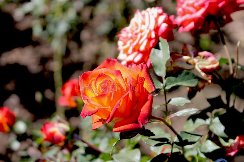 Rose flower with Orange and yellow shade royalty free stock image