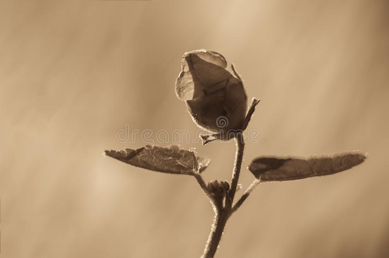 Rose flower with petals and backlight on a blurred background. Toned photo, soft focus, defocused stock images