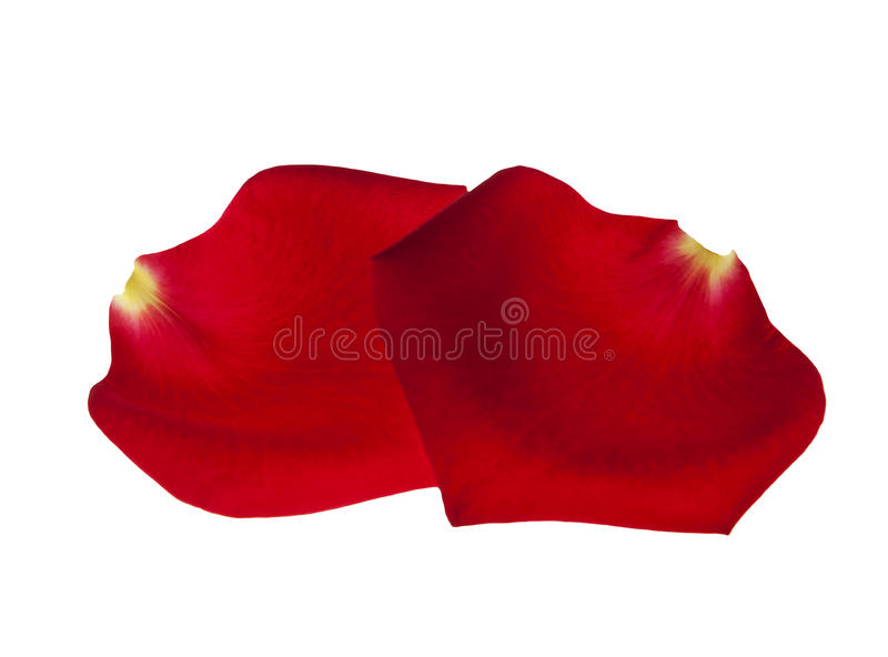 Rose flower petals isolated royalty free stock photography