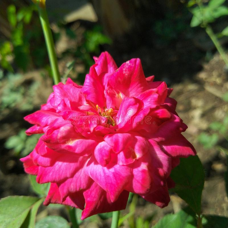 Rose flower with pink and magenta petal& x27;s color stock photography
