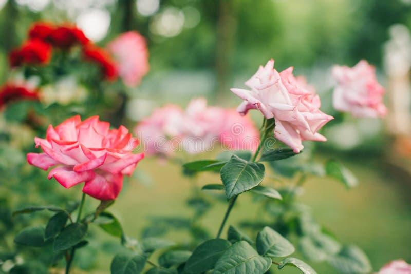 Rose flower plant. Beautiful roses stock photo
