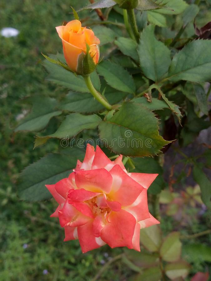 Rose flower. Rose is the queen of All Flowers stock image