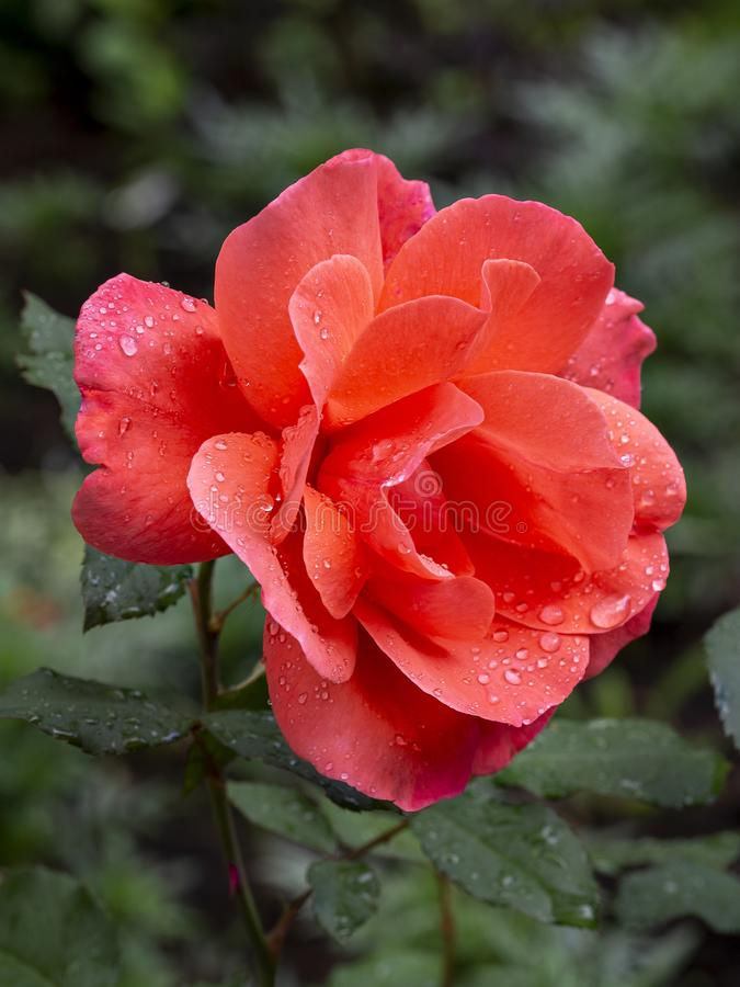 Rose flower in raindrops on a green vertical background stock image