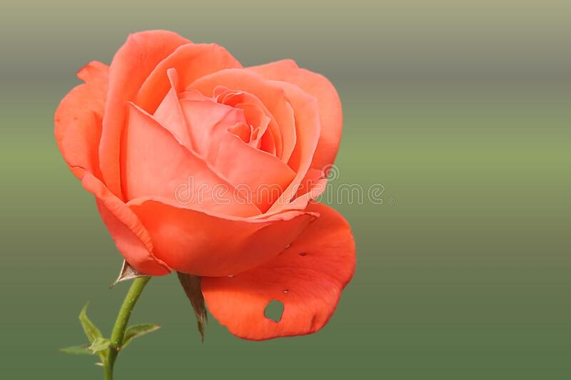 Rose, Flower, Red, Rose Family royalty free stock photos