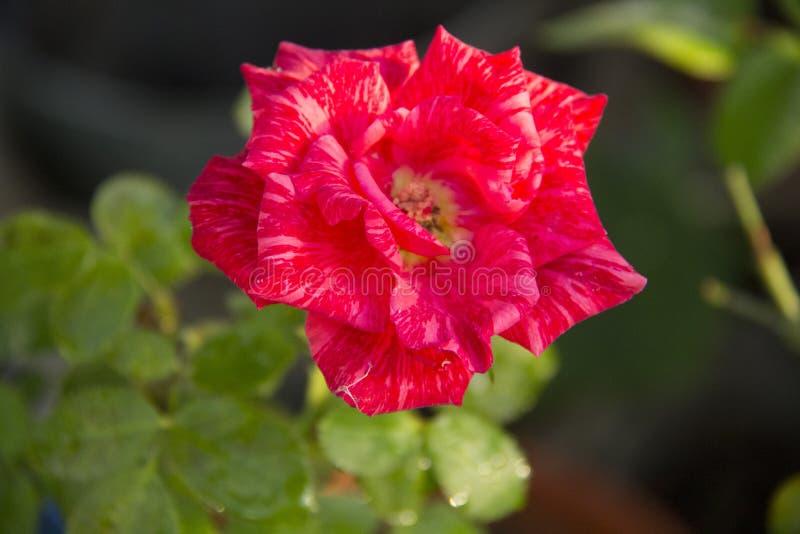 Rose Flower Rood nam toe De schoonheid van nam toe royalty-vrije stock fotografie