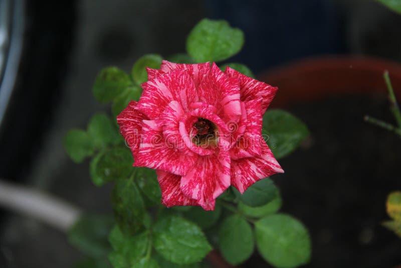 Rose Flower Rood nam toe De schoonheid van nam toe royalty-vrije stock foto