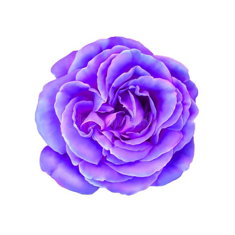 Rose Flower rosa porpora isolata su bianco illustrazione vettoriale
