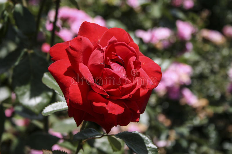 Rose flower. royalty free stock images