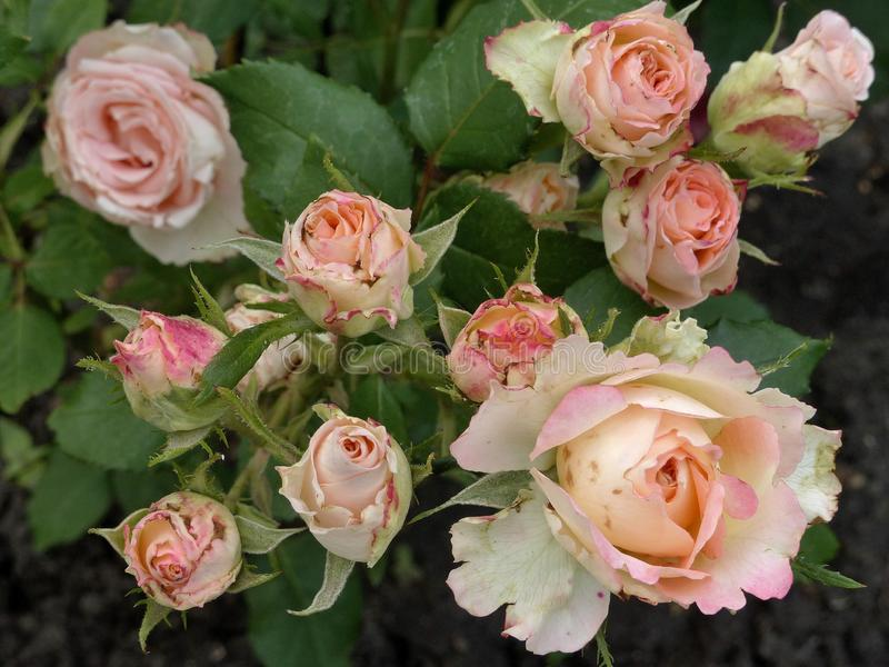 Rose, Flower, Rose Family, Flowering Plant Free Public Domain Cc0 Image