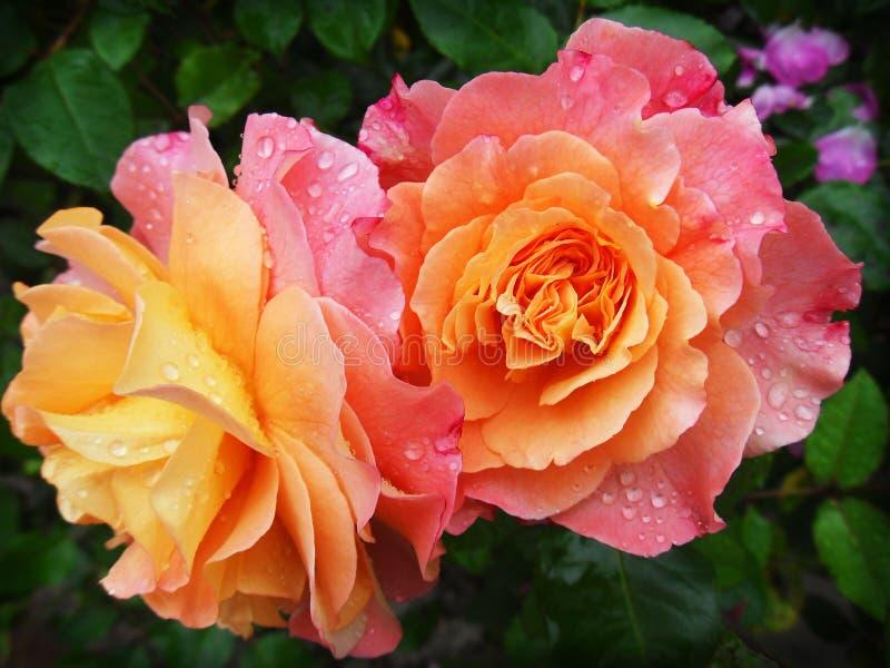 Rose, Flower, Rose Family, Flowering Plant Free Public Domain Cc0 Image