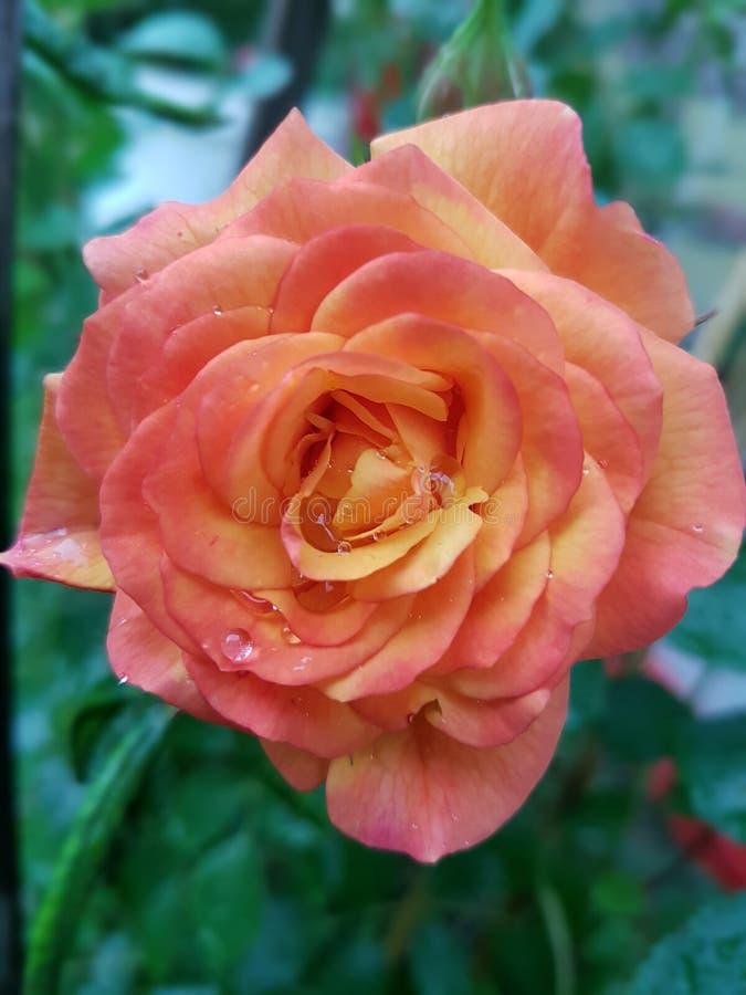 Rose, Flower, Rose Family, Garden Roses Free Public Domain Cc0 Image