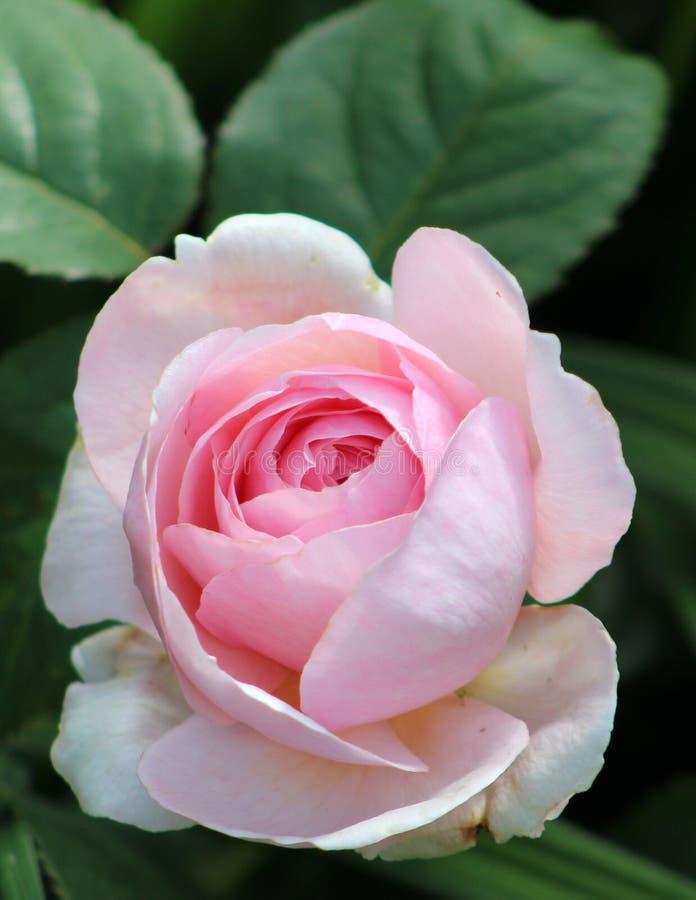 Rose, Flower, Rose Family, Pink Free Public Domain Cc0 Image