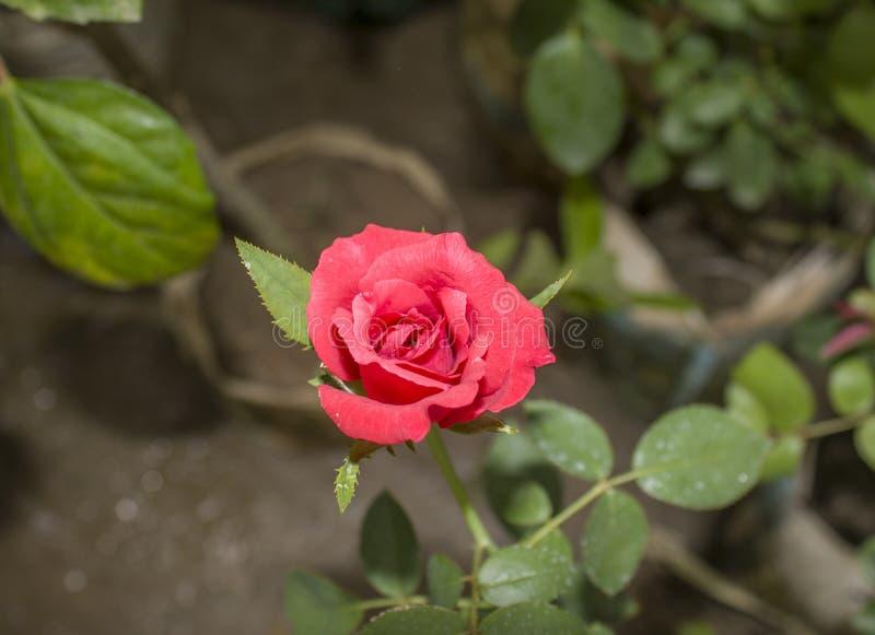Rose Flower rossa al giardino fotografia stock libera da diritti