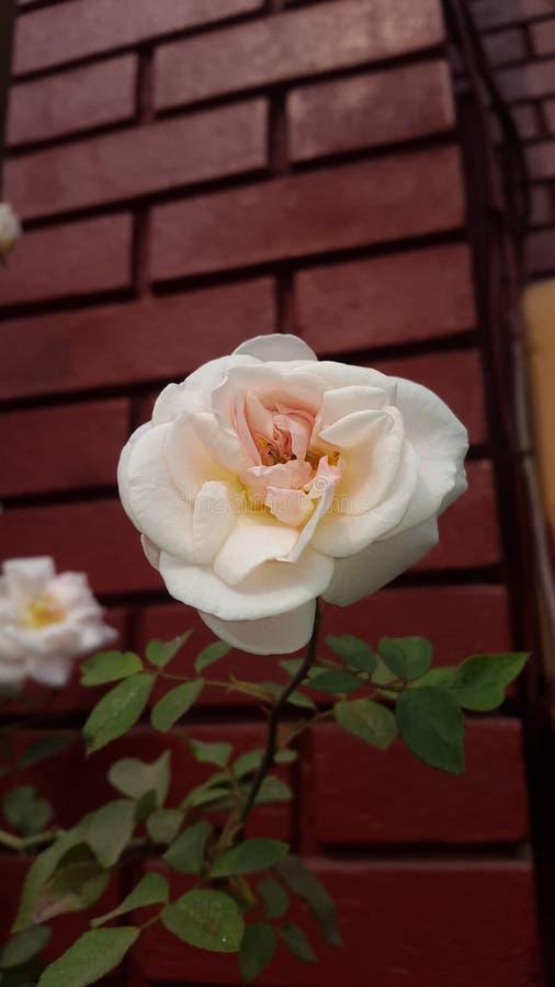 Rose Flower und Sylhet Surma stockbild