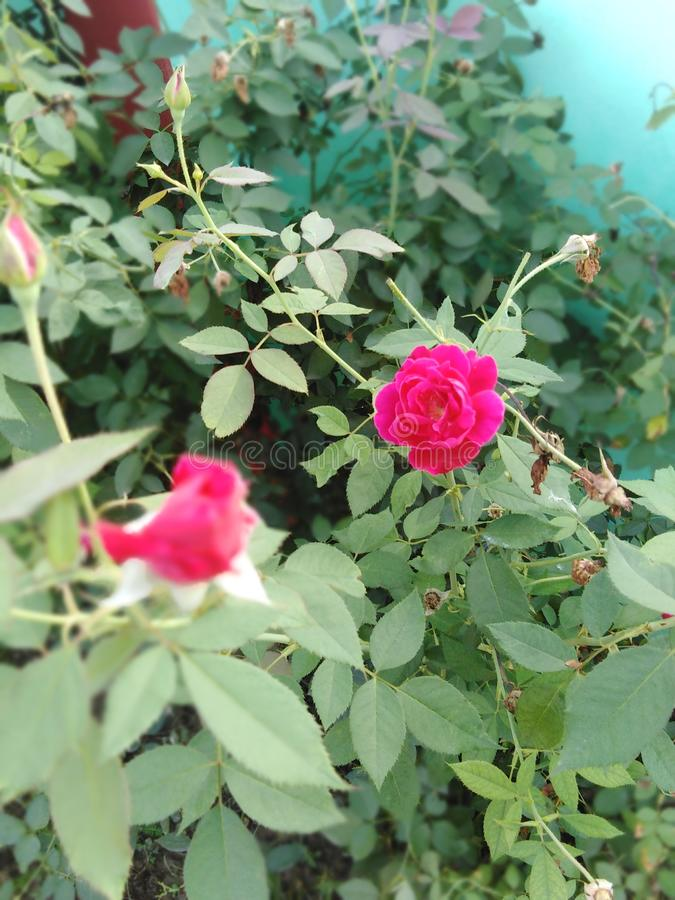 Very beautiful and awesome rose plant stock photo
