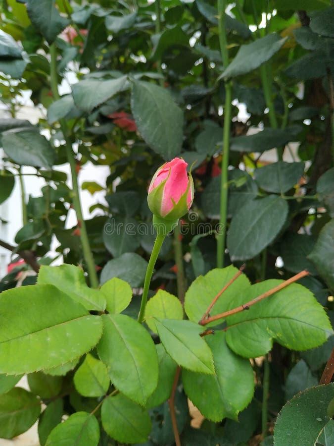 Rose Flower Wallpaper imagem de stock royalty free