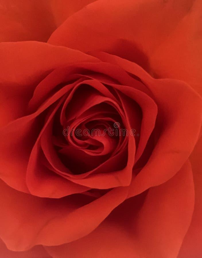 Rose Flower Wallpaper fotos de stock royalty free