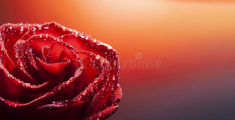 Rose flower with water drop on red background stock photos