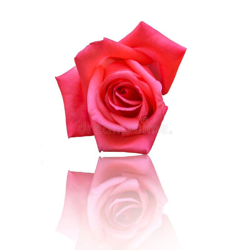 Rose Flower On White Background roja hermosa imágenes de archivo libres de regalías