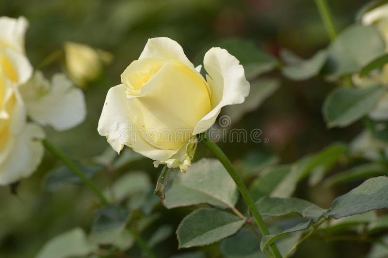 Rose flower royalty free stock photo