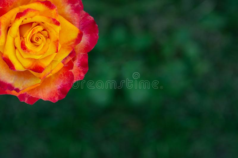 Rose flower in yellow orange red on a green background.  stock photos