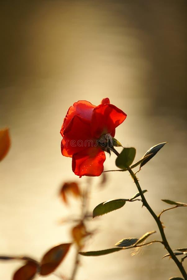 Rose Flowers stock image