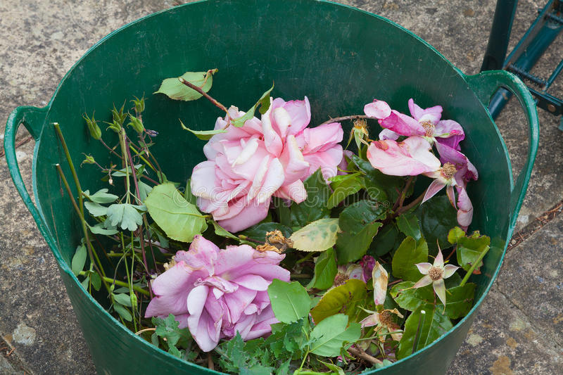 Rose flowers in a basket after pruning stock images