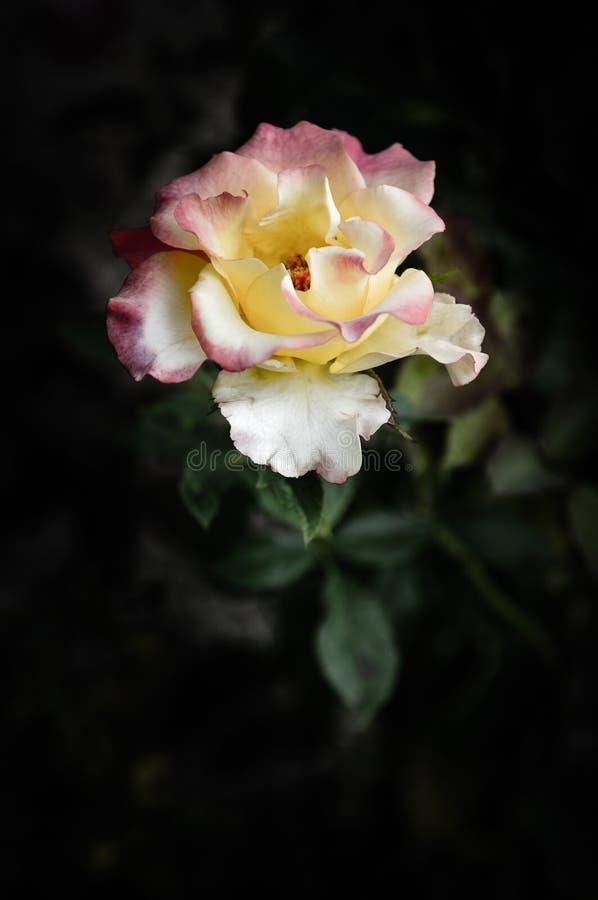 Rose Flowers dans la conception des tons fonc?s naturels L'image est l'art photos libres de droits