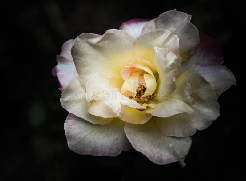 Rose Flowers dans la conception des tons fonc?s naturels L'image est l'art photographie stock
