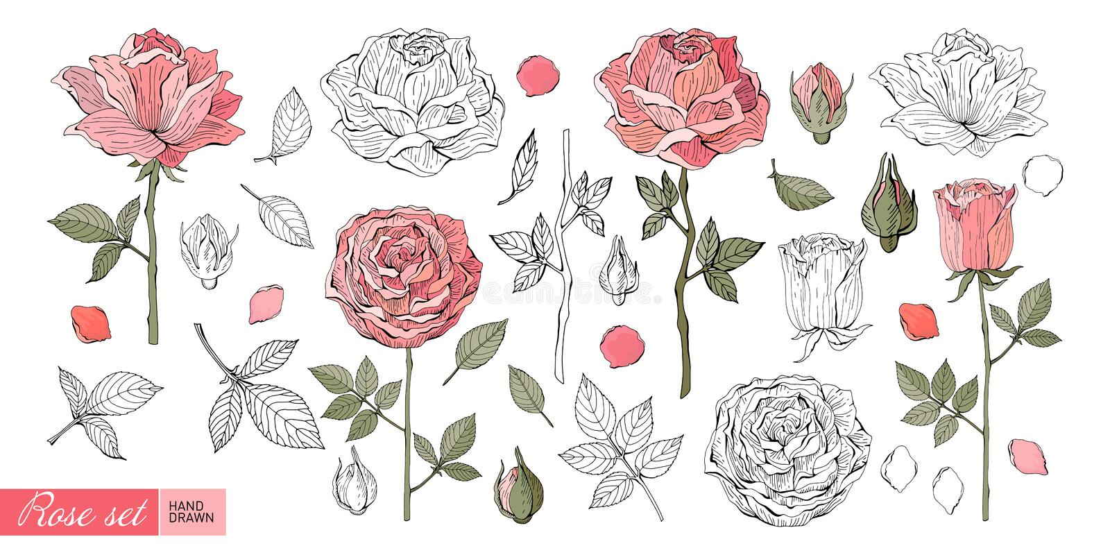 Rose flowers, leaves, stems, buds hand drawn in color and in black and white line. Set of Botanical illustration in vector. Romantic Floral elements. Isolated vector illustration