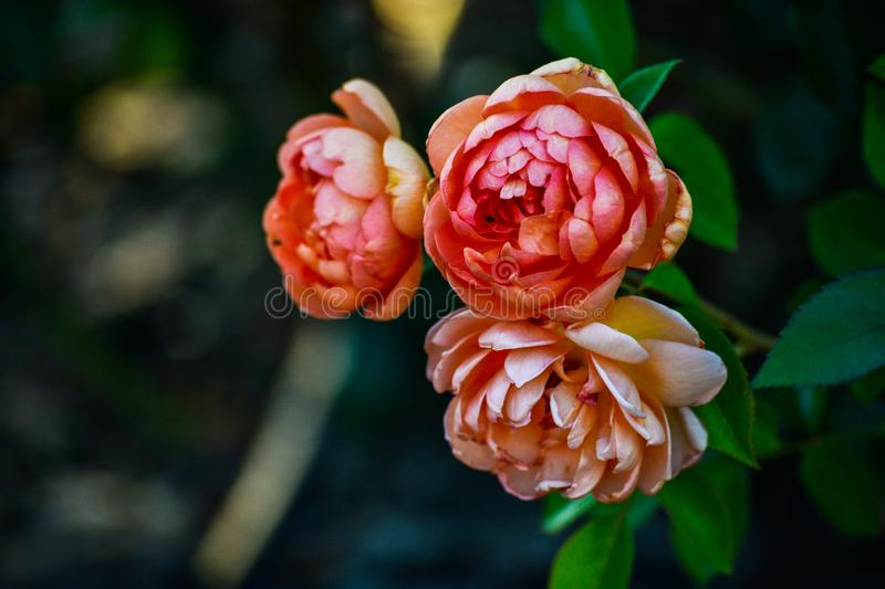 Rose flowers outdoors nature landscape background calm and relaxing park garden natural closeup macro portrait. Rose flowers outdoors nature landscape background royalty free stock images
