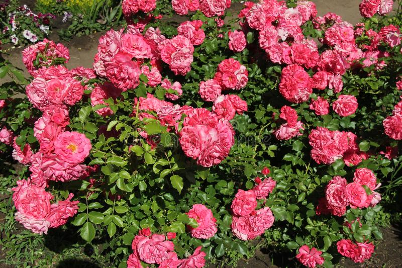 Rose flowers, pink. A carpet of roses on a background of bright greenery. royalty free stock photos