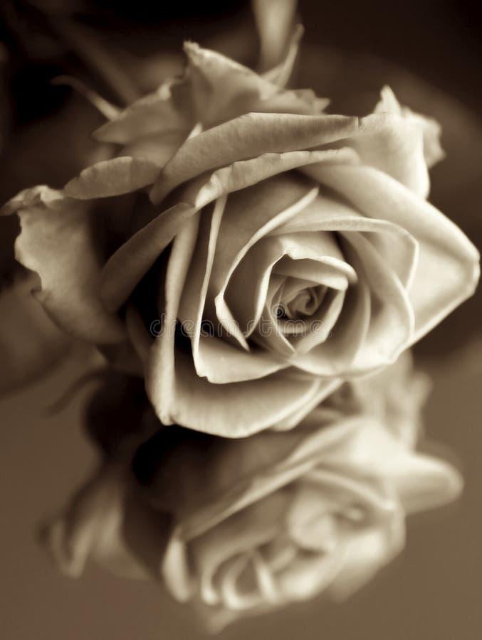 Rose foncée photos stock
