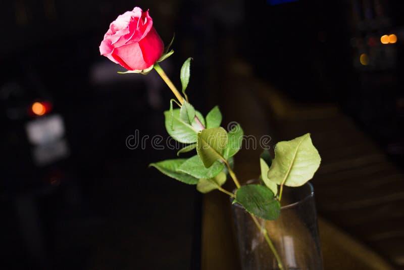 Rose fraîche seulement rouge photo stock