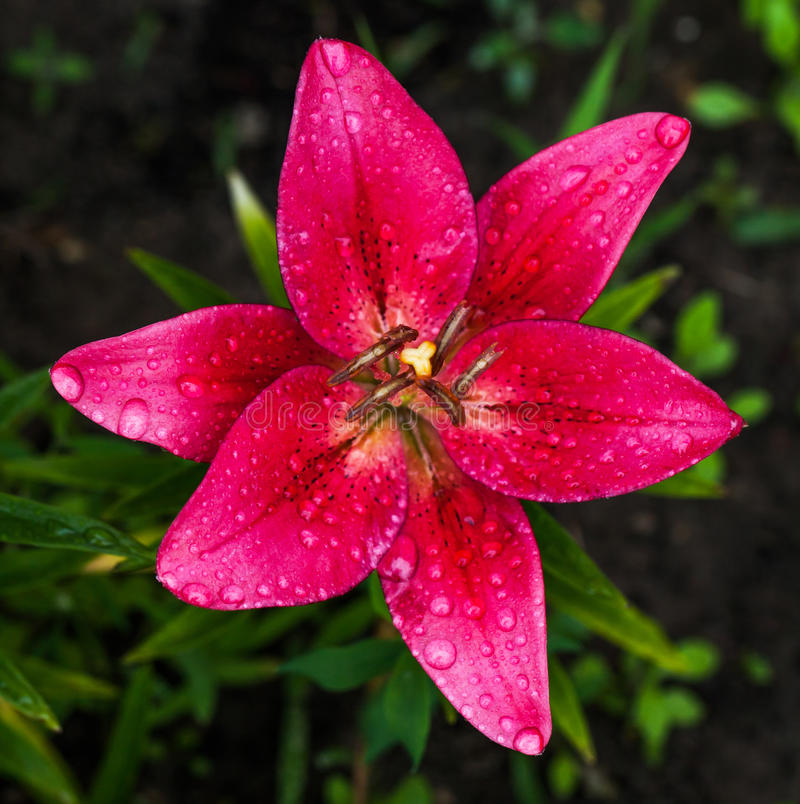 Rose frais lilly photographie stock