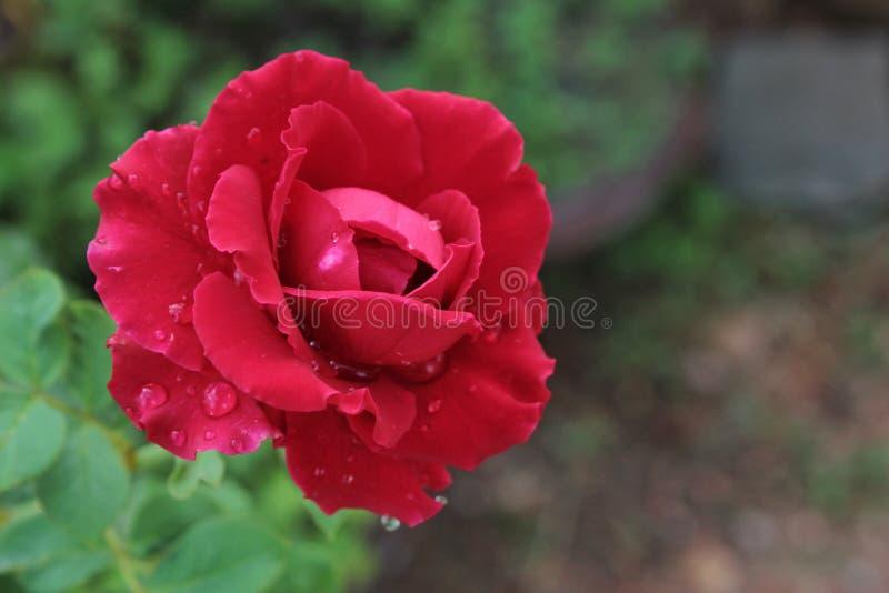 Rose fresca en fondo del jardín imagen de archivo libre de regalías